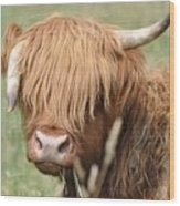 Ringo - Highland Cow Wood Print