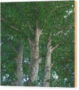 River Birches Wood Print