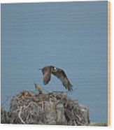 River Hawk Hovering Over A Nest Wood Print