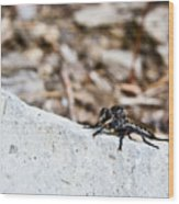 Robber Fly Stalking Wood Print
