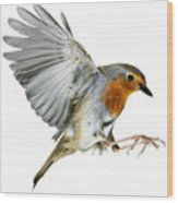 Robin Alighting Wood Print