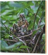 Robin Chicks In Nest. Wood Print
