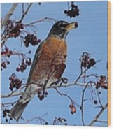 Robin Eating A Red Berry Wood Print