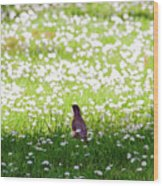 Robin In A Field Of Daisies Wood Print