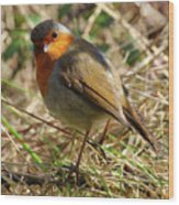 Robin In Hedgerow 3 Wood Print