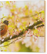Robin In Spring Blossom Cherry Tree Wood Print