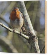 Robin On Branch Donegal Wood Print