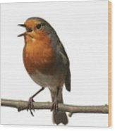 Robin Singing On Branch Wood Print