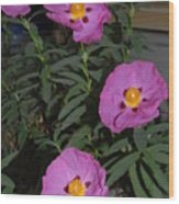 Rock Rose Orchid Wood Print