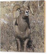 Rocky Mountain Big Horn Sheep Wood Print