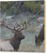 Rocky Mountain Bull Elk And Cow Wood Print