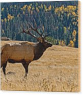 Rocky Mountain Bull Elk Wood Print