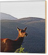 Rocky Mountain Elk Vi Wood Print