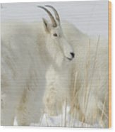 Rocky Mountain Goats In Wyoming Winter Wood Print