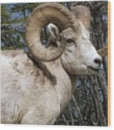 Rocky Mountain Ram Wood Print