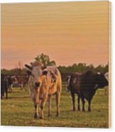 Rodeo Bulls At Dawn Wood Print by Gus McCrea