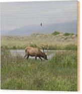 Roosevelt Elk 1 Wood Print