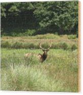 Roosevelt Elk 2 Wood Print