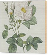 Rosa Alba Foliacea Wood Print