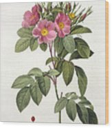 Rosa Carolina Corymbosa Wood Print