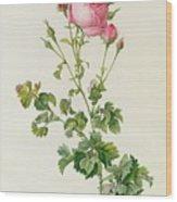 Rosa Centifolia Bipinnata Wood Print