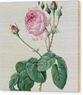 Rosa Centifolia Bullata Wood Print