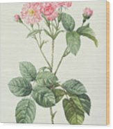 Rosa Centifolia Caryophyllea Wood Print