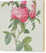 Rosa Centifolia Prolifera Foliacea Wood Print