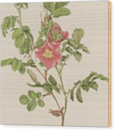 Rosa Cinnamomea The Cinnamon Rose Wood Print