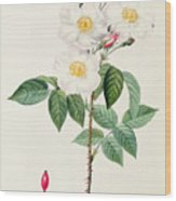 Rosa Damascena Subalba Wood Print