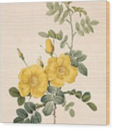 Rosa Eglanteria Wood Print by Pierre Joseph Redoute