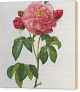 Rosa Gallica Aurelianensis Wood Print
