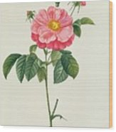 Rosa Gallica Flore Marmoreo Wood Print