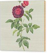 Rosa Gallica Gueriniana Wood Print by Pierre Joseph Redoute