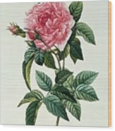 Rosa Gallica Regalis Wood Print