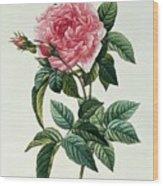 Rosa Gallica Regalis Wood Print by Pierre Joseph Redoute