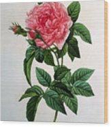 Rosa Gallica Regallis Wood Print