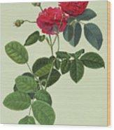 Rosa Holoferica Multiplex Wood Print