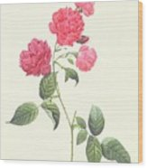 Rosa Indica Caryophyllea Wood Print by Pierre Joseph Redoute