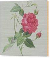 Rosa Indica Cruenta Wood Print by Pierre Joseph Redoute