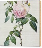 Rosa Indica Fragrans Wood Print