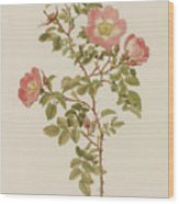 Rosa Involuta Var Wilsoni Wood Print