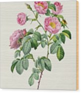 Rosa Mollissima Wood Print by Claude Antoine Thory