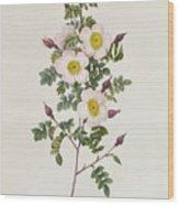 Rosa Pimpinelli Folia Inermis Wood Print