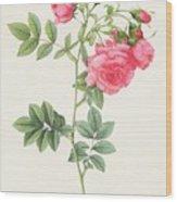 Rosa Pimpinellifolia Flore Variegato  Wood Print by Pierre Joseph Redoute
