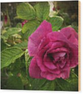 Rosa Rugosa Art Photo Wood Print