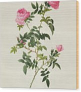 Rosa Sepium Flore Submultiplici Wood Print by Pierre Joseph Redoute