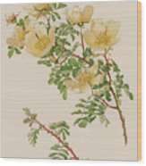 Rosa Spinosissima Var Hispida Wood Print