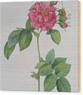 Rosa Turbinata Wood Print