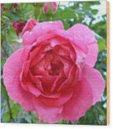 Rosa Zephrine  Wood Print